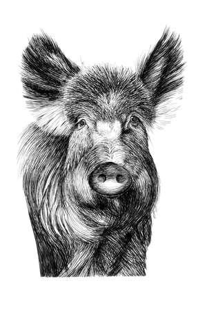 Hand drawn wild boar portrait, sketch graphics monochrome illustration on white background (originals, no tracing) Archivio Fotografico