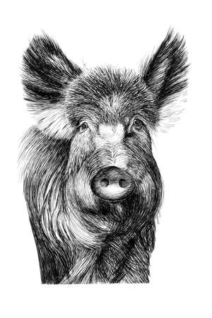 Hand drawn wild boar portrait, sketch graphics monochrome illustration on white background (originals, no tracing)