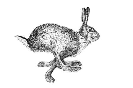 Hand drawn hare, sketch graphics monochrome illustration on white background (originals, no tracing)
