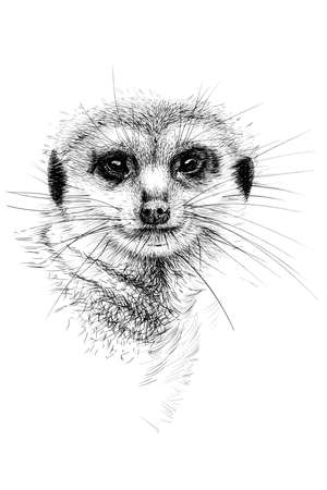 Hand drawn meerkat portrait, sketch graphics monochrome illustration on white background (originals, no tracing)