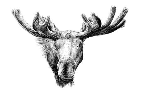 Hand drawn moose portrait, sketch graphics monochrome illustration on white background (originals, no tracing)