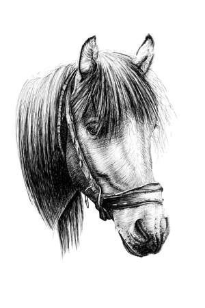 Hand drawn horse portrait, sketch graphics monochrome illustration on white background (originals, no tracing)