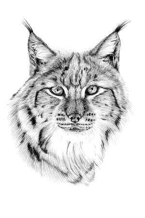 Hand drawn lynx portrait, sketch graphics monochrome illustration on white background (originals, no tracing)