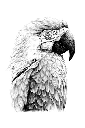 Hand drawn parrot portrait, sketch graphics monochrome illustration on white background (originals, no tracing) Zdjęcie Seryjne