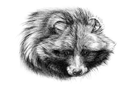 Hand drawn raccoon portrait, sketch graphics monochrome illustration on white background (originals, no tracing)