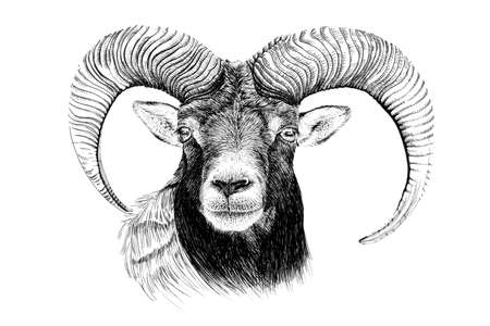 Hand drawn mouflon portrait, sketch graphics monochrome illustration on white background (originals, no tracing)