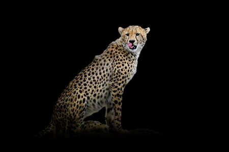 Close up view cheetah. Wild animal isolated on a black background