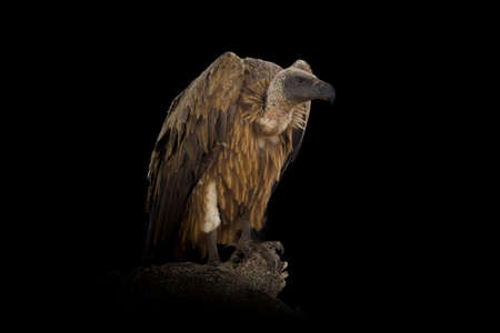 Close up view Griffon vulture. Wild animal isolated on a black background Standard-Bild