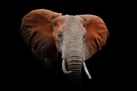 Close up view Elephant. Wild animal isolated on a black background Stock Photo