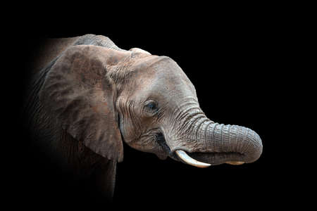 Close up view Elephant. Wild animal isolated on a black background