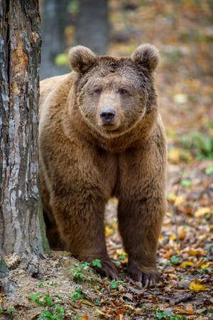 Close-up brown bear in autumn forest. Danger animal in nature habitat. Big mammal. Wildlife scene