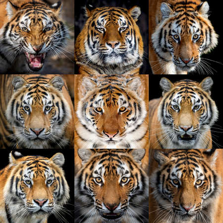 Close up collage of nine photos a Tiger portrait 写真素材