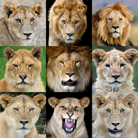 Close up collage of nine photos a Lion portrait