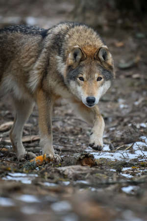 Close up wolf in winter forest background. Animal in the nature habitat