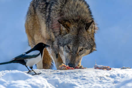 Gray wolf, Canis lupus, eat meat in the winter forest. Wolf in the nature habitat Standard-Bild