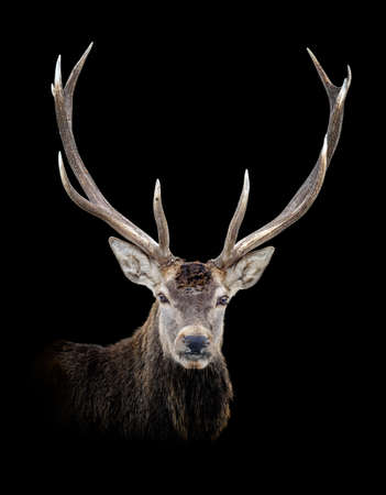 Portrait old red deer isolated on dark background