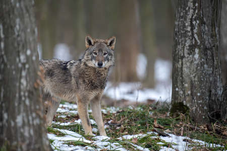 Wolf in the forest up close. Wildlife scene from winter nature. Wild animal in the natural habitat Stock fotó