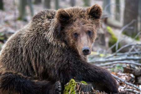 Brown bear in the forest up close. Wildlife scene from spring nature. Wild animal in the natural habitat
