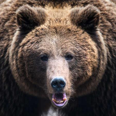 Close-up brown bear portrait. Danger animal in nature habitat. Big mammal. Wildlife scene