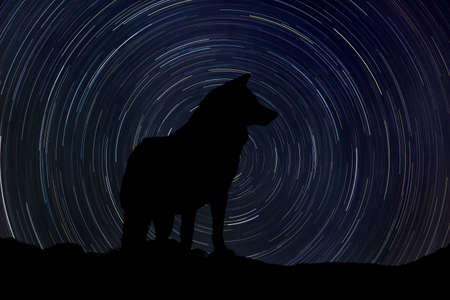 Silhouette of wolf at night with startrail in the background