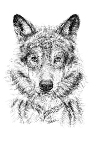 Hand drawn wolf, sketch graphics monochrome illustration on white background