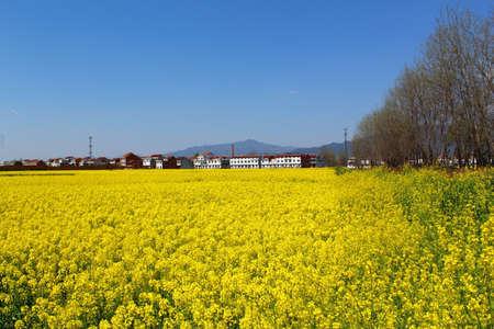 Hanzhoung 유채 꽃 스톡 콘텐츠