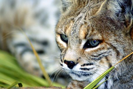 lince rojo: gato mont�s Foto de archivo