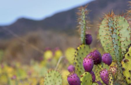 beavertail cactus Reklamní fotografie