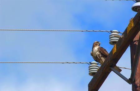 redtail:      hawk