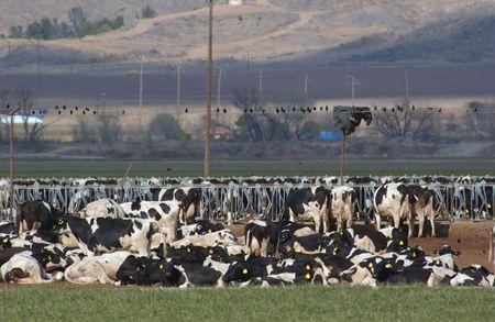 fresian: cows