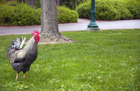 rooster Stock Photo - 899524