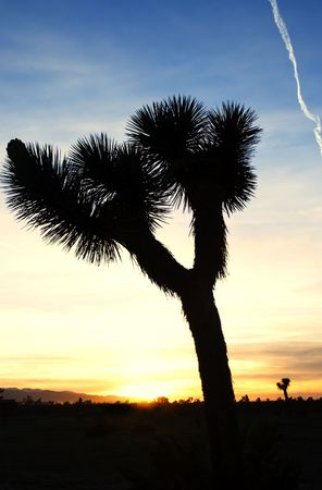 silhouette of a Joshua tree at sunset in Californias Mojave desert.  photo