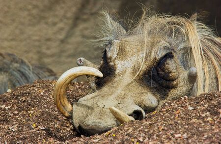 tusks: warthog with large tusks