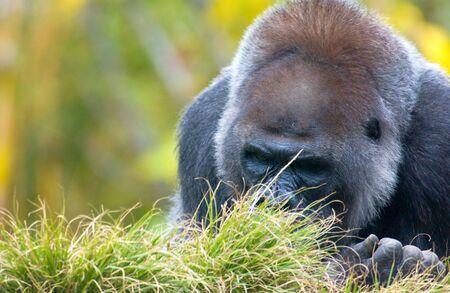 close up of Silverback Gorilla
