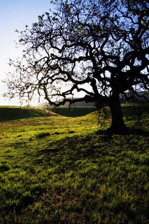 a silhouette of a oak tree at point mugu state park in the santa monica Mountain, california. usa