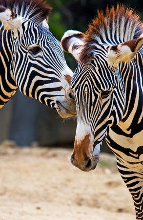Zebra Banco de Imagens