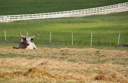 Longhorn Cattle and green grass Banco de Imagens