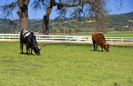 Longhorn Cattle and green grass photo