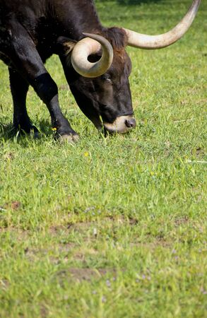 long nose: Longhorn Cattle and green grass Stock Photo