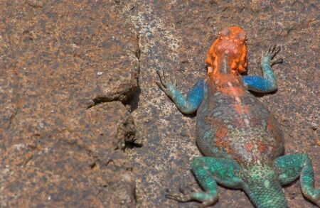headed: Red headed rock agama