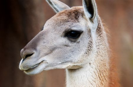 llama, close up, fuzzy animal