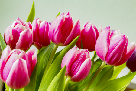 Pink colorful tulips