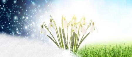 Snowdrops in Springtime Stock fotó