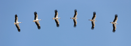 Storks flying in blue Sky Banque d'images