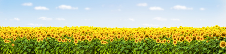sunflower field with blue sky panorama