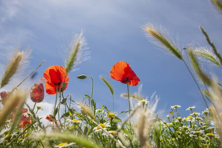 Red Poppies in cornfield with blue sky close-up