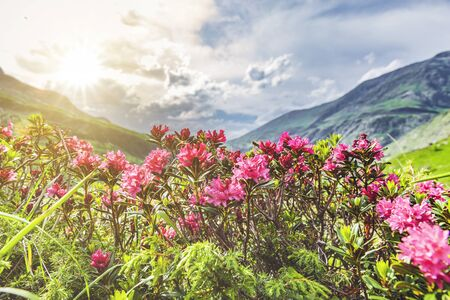 Red Alps roses in the mountains