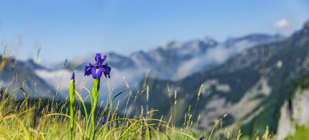 Pyrenees Iris in the French Pyrenees National Park