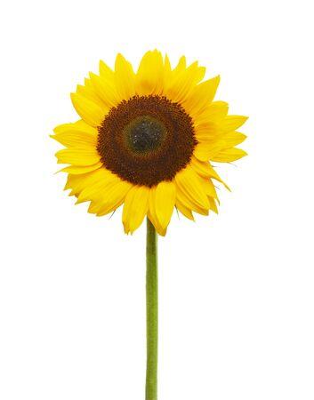 Yellow Sunflower isolated on white background Zdjęcie Seryjne