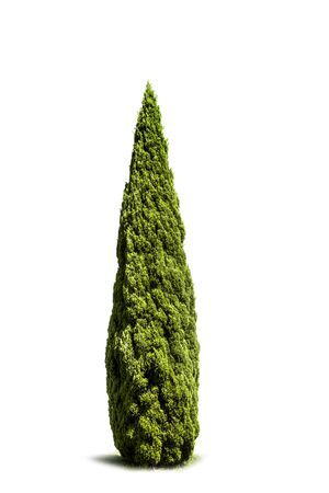 Beautiful Green cypress isolated on white background Banque d'images